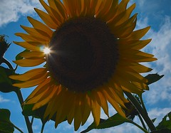 Sunflower (love_child_kyoto) Tags: travel summer vacation flower backlight kyoto august bluesky sunflower   1001nights henrymancini olympuspen  vacance  kameoka    2011    supershot sofialoren masterphotos abigfave  artisticflowers takenwithlove igirasoli  microfourthirds    1001nightsmagiccity