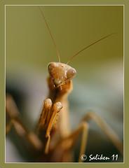Amantis religiosa (Santiago Vidal - Saliken) Tags: macro animal canon eos niceshot insecto 400d saliken amantisreligiosa flickrstruereflection1