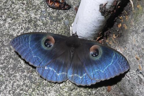 蛾類休息時翅膀的收放方式通常都是張開平放。圖為白邊魔目夜蛾。(攝影:陳柏璋)