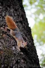 Squirrel in Tehran (aryapix) Tags: tree squirrel iran tehran saad abad ecureuil sanjab