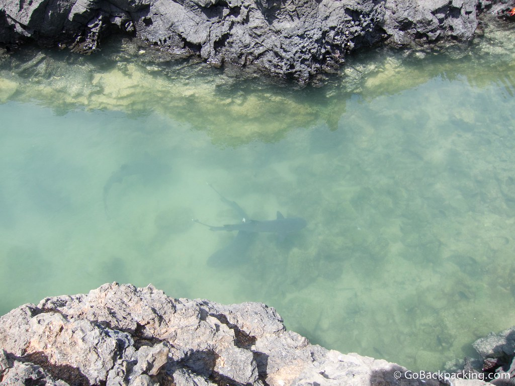 White Tip Reef Sharks in the Galapagos Islands