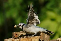 DSC06293 (dmarie13) Tags: haven birds backyard minolta sony north july ct teleconverter 2011 14x 600mm a900