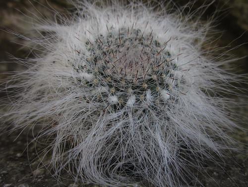 Mammillaria sp barbuda by juan_y_ana