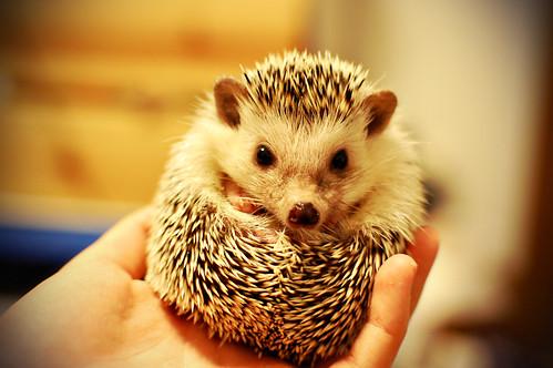 フリー写真素材, 動物, 哺乳類, 鼠・ネズミ, ハリネズミ,