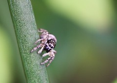Scary, me? (out in the sticks) Tags: white black macro female garden spider arachnid curious dsl jumpingspider invertebrate salticus zebraspider salticusscenicus salticidae araneomorphae entelegynae aranae canonef100mmf28macrousm canoneos50d labidognatha macrolife householdjumpingspider dionycha theatricaljumper