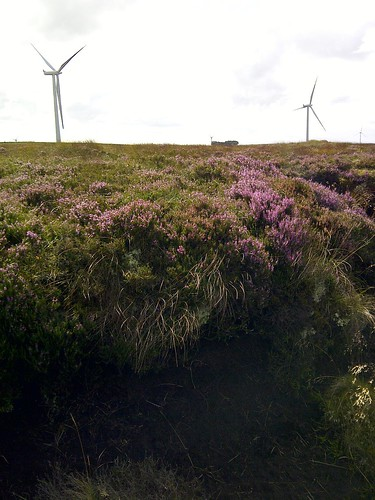 Heather in Bloom at Whitelee Wind Farm