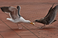 Seagulls fighting (AER Wilmington DE) Tags: sanfrancisco seagull noflash handheld 18200mm nothdr