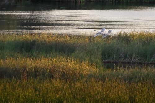 Swans DSC_9994