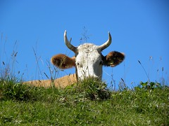 hi there! (queencashmere) Tags: schweiz switzerland kuh cow gras