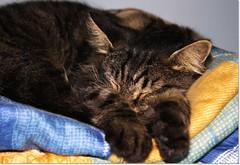 Sweet deams...... (Simply Viola) Tags: cats animals kittens mycats felini gatti animali gattini