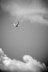 I Dreamt I was Flying... (lynn.h.armstrong) Tags: camera sky bw white ontario canada black blur bird art st clouds river lens geotagged photography flying photo lawrence interesting mac aperture nikon long flickr zoom seagull south dream images lynn h getty nikkor armstrong stormont vr licence afs request dx sault attribution ingleside 2011 ifed 18200mm dreamt f3556 noderivs vrii d7000 lynnharmstrong