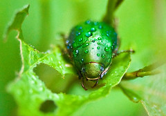 Anamola cuprea Scarab With Raindrops (aeschylus18917) Tags: macro green nature rain japan insect nikon waterdrop g beetle micro 日本 nikkor f28 vr chafer raindrop pxt coleoptera 105mm insecta 甲虫 105mmf28 scarabaeidae rutelinae カブトムシ 105mmf28gvrmicro anomala d700 nikkor105mmf28gvrmicro ダニエル 兜虫 rutelini danielruyle aeschylus18917 danruyle druyle ルール ダニエルルール cupreouschafer ドウガネブイブイ anomalina anomalacuprea