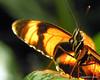 Light on the Wing (NTFlicker) Tags: nikoncoolpix8800 butterflyeye