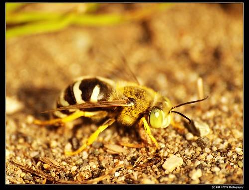 Sand wasp (Bembix americana)