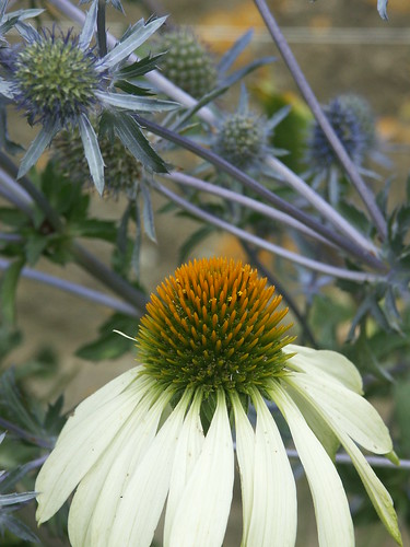 Echinacea & sea holly