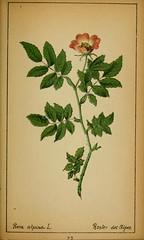 Anglų lietuvių žodynas. Žodis rosa pendulina reiškia <li>rosa pendulina</li> lietuviškai.