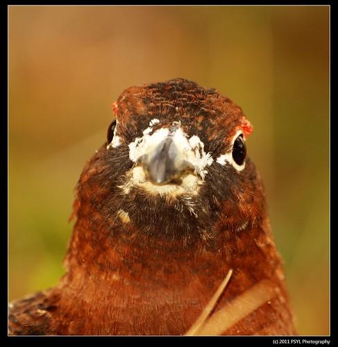 Willow Ptarmigan (Lagopus lagopus) male