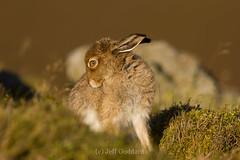 A Wary Eye (JeffGoddard Photography) Tags: mammal scotland perthshire crieff herbivore mountainhare lochturret