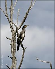 Breathing freedom (Nicolas Blain) Tags: sky cloud paris france tree bird nature freedom ciel libert cormorant nuage arbre oiseau breathing cormoran respiration respirer d7000 nicolasblain