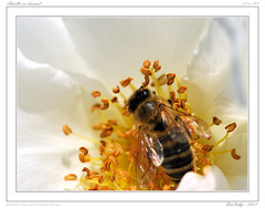 Au jardin (BerColly) Tags: france flower macro fleur garden jardin bee auvergne abeille puydedome