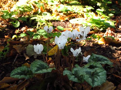 Cyclamen hederifolium 'album'