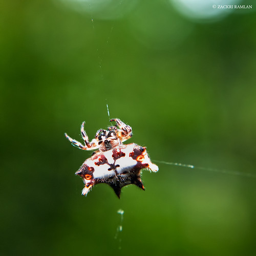 Orb Spider by Zackri Zim'S