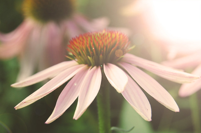 sunkissed coneflower