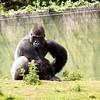 Ok...Who nicked my banana (Vonnie red) Tags: animals creatures zoos gorillas westernlowlandgorilla ef70300mmf456isusm