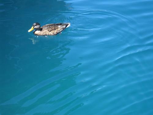 Solitary Duck, Plitvice National Park, Croatia