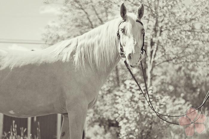 Halifax NS Wedding Portrait Horse Equine photography - Splash & Donna - Nicole Payzant -  (6 of 26)
