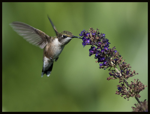 Hummingbird at butterfly bush 9