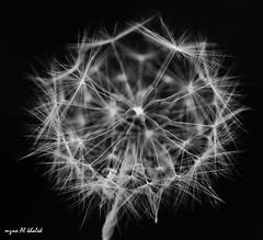 Details.... (mzna al.khaled) Tags: light bw black detail macro beautiful closeup canon focus dof explore arabia natrue 105mm 50d  macrolife   mzna