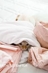La cachette selon Pop (daysafter) Tags: cat canon chat pop whitecat gingercat 2011 chatroux chatblanc unamourdechat daysafter andthedaysafter sarahzhiri copyrightsarahzhiri mentionsetdroitsobligatoires eos550d