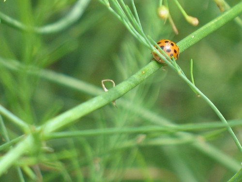 Ladybird on a stem