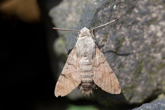 Hummin-bird hawk-moth