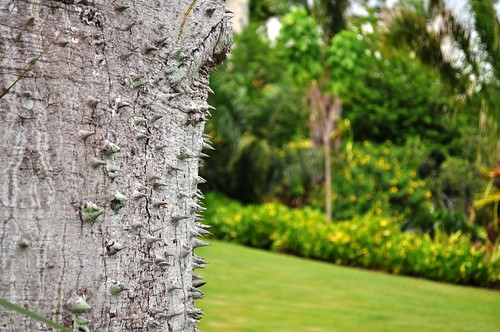 I Find the Bark Intriguing. Floss Silk Tree, Naples Botanical Garden