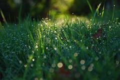 Bokeh dewdrops - dark (avlxyz) Tags: morning sunlight grass sunshine dewdrops bokeh backlit