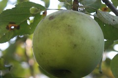 apple diseases