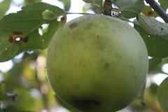 apple diseases