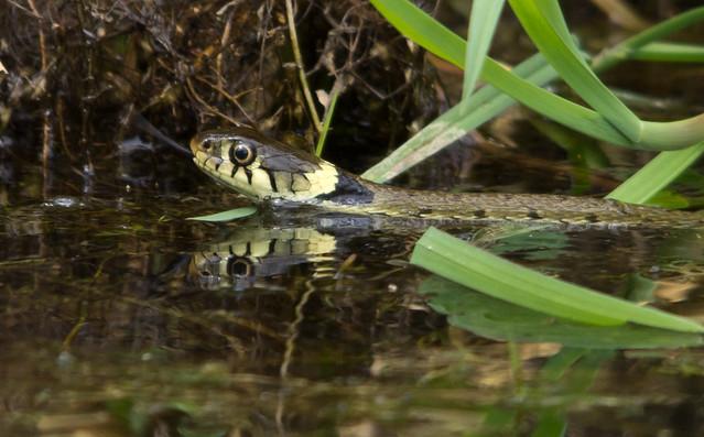 grass snake 3