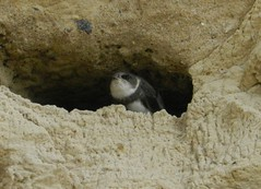 Uferschwalbe, NGIDn1887710629 (naturgucker.de) Tags: deutschland mecklenburgvorpommern ripariariparia rgen uferschwalbe naturguckerde carmindreisbach ngidn1887710629