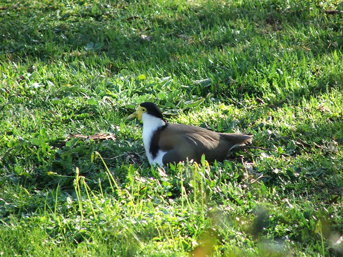 Masked lapwing (Vanellus miles, or plover) nesting in my back lawn