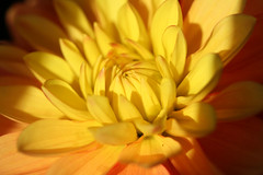 Dahlia (MUMU.09) Tags: dahlia flowers flower macro nature fleur yellow jaune de photo foto flor petal amarillo gelb da   bild blume fiore gul  ptale kuning imagem floralpark  petalo sar   flower gult  dahlie  bltenblatt ptala      srga      vng  mu parcfloraldevincennes    bu  flores flor            ptalos