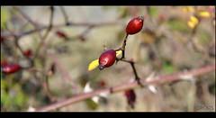 Baies (PCB75) Tags: planta fruit baia baies escaramujo tapaculos botànica gavarrera rosercaní