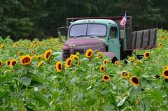sun flower (Darren-) Tags: usa sun newyork storm flower nikon hurricane irene 5100 eastmoriches hurricaneirene