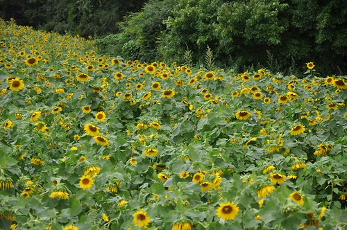 Sunflower Field Carthage