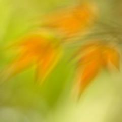 spring schmocus (_aires_) Tags: light macro green canon glow bokeh aires 100mm nandina lifelines limaperu nandinadomestica heavenlybamboo justplayingaround 50d ires imagepoetry canonef100mmf28macrousm sacredbamboo canoneos50d canon50d arbolitodelafelicidad hernandosgarden schmocus imagesforthelittleprince beyondbokeh fleursetpaysages
