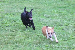 Black Lab Chases Small Dog