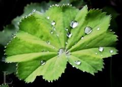 Drops (lappapaff) Tags: morning black green water leaves germany deutschland drops dew tau grn blatt schwarz tropfen