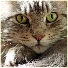 Floris (Cajaflez) Tags: portrait pet cute cat kat chat niceshot longhair mainecoon katze portret gatto huisdier kater floris tomcat pedigree topshots cc1000 natureselegantshots 100commentgroup saariysqualitypictures mygearandme mygearandmepremium mygearandmebronze mygearandmesilver
